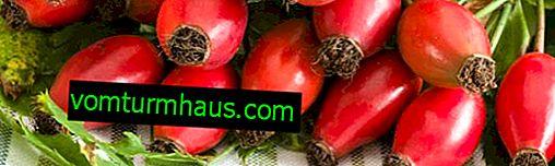 L'utilisation de rose sauvage dans le diabète: propriétés médicinales et contre-indications