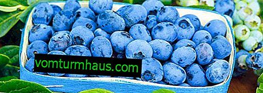 Sorter af blåbær til Leningrad-regionen