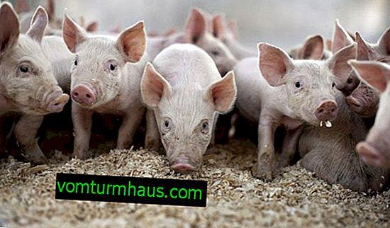 Mischfuttermittel für Schweine: Arten, Kochen mit eigenen Händen, insbesondere Füttern