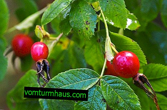May Rose: botanisk beskrivning av växten, livsmiljö, fördelar och skador