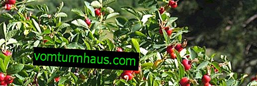 Appearance and description of rose hips
