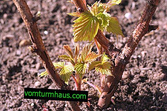 Forår beskæring og dannelse af blackberry buske: hvordan man gør det rigtigt