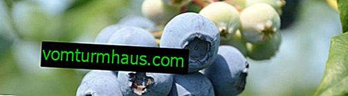Borovnica tvrdo plava: Karakteristike sorti i suptilnosti uzgoja