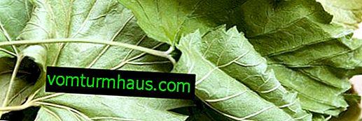 Características de la cosecha de hojas de grosella para el invierno