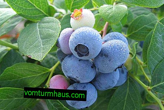 Blueberry Liberty: characteristics and characteristics of the variety