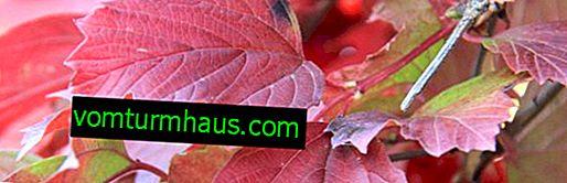 Foglie di viburno: proprietà utili e controindicazioni