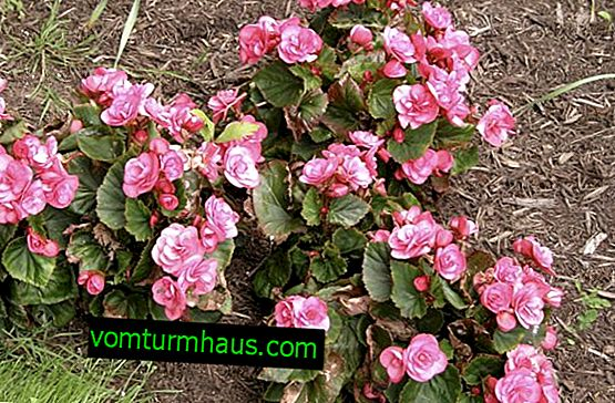 Evergreen Begonia: Description of Varieties, Planting and Care at Home