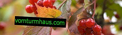 Okolie spoločnej kalina s inými rastlinami: jabloň, jaseň horský, čerešňa, orgován
