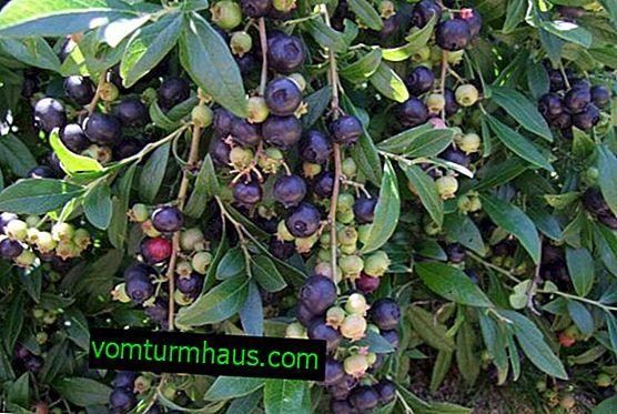 Blueberry Putte: характеристики на сорта и особености на отглеждането