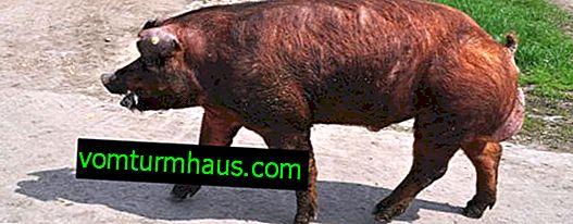 Pigs Duroc: rasbeskrivning, odling och vård