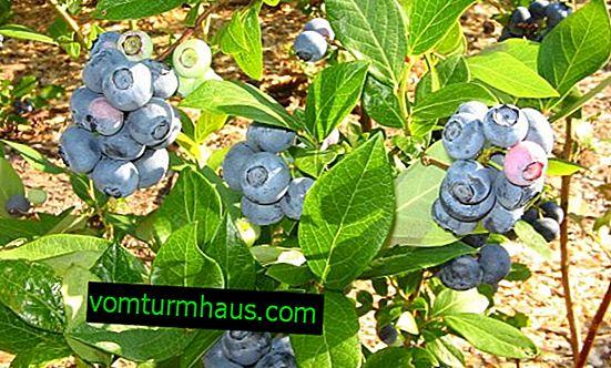 Blueberry Elliot: rastúce pravidlá, výhody a škody