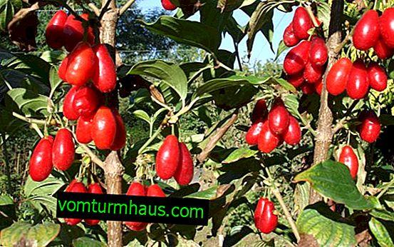 Kizil Vladimirsky: popis a vzhled odrůdy