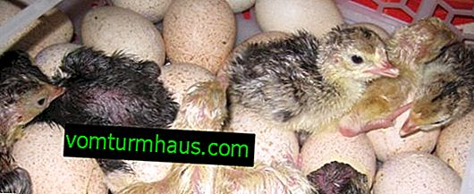 Opdræt kalkuner i en inkubator derhjemme