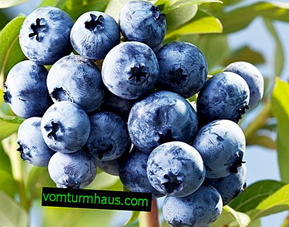 Blueberries: harvest, planting and care
