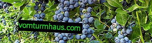 Beschreibung der kanadischen Blueberry Nectarna