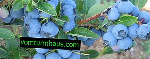 Borůvky Centeclir: charakteristika odrůdy a vlastností pěstování