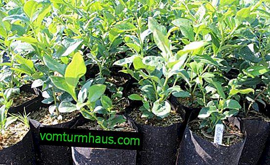 Comment faire pousser des bleuets à partir de graines