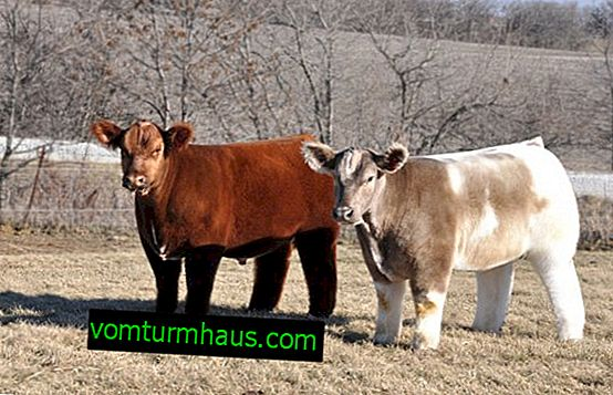 Iowa plush cow: description and description of the breed