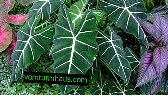 The use of alocasia in traditional medicine, treatment and contraindications