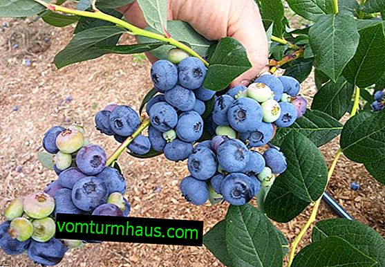 Blueberry Chippeva: characteristics of the variety and features of cultivation
