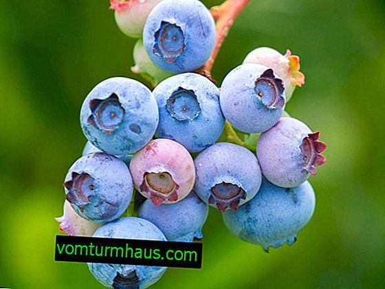 Blueberry Sierra: caractéristiques des variétés et des subtilités de la culture