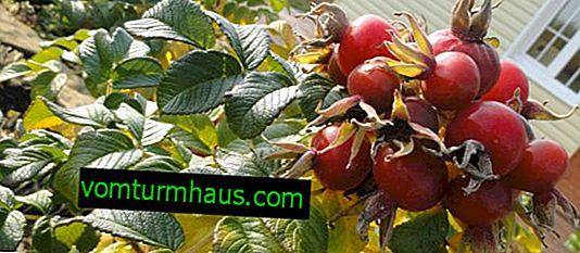 Rosehip May Apple: crecimiento, beneficios y daños