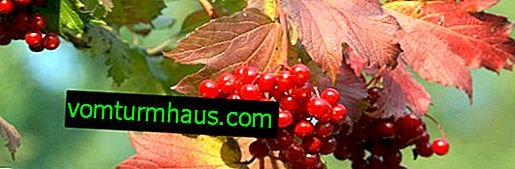 Opis uobičajene viburnume i značajke njezinog uzgoja