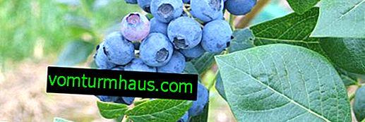 Jagody Northland: charakterystyka odmiany i zasady uprawy