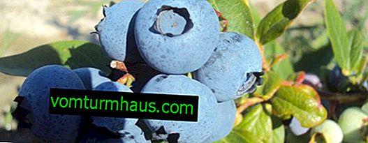 Blueberry Herbert: Wachsende Regeln, Nutzen und Schaden