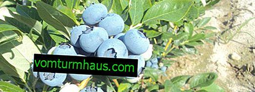 Blueberry Boniface: règles, avantages et inconvénients croissants