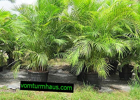 Chrysalidocarpus palm: home care
