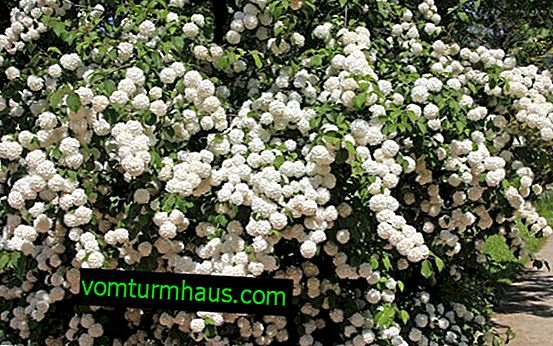 How to deal with aphids on viburnum Buldenezh, pest treatment, control measures