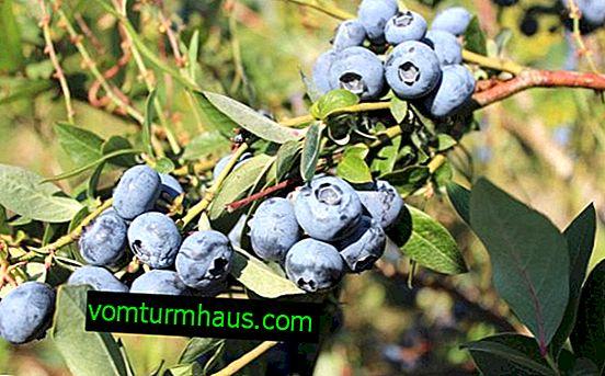 Blueberry Blucrop: description de la variété et caractéristiques de culture