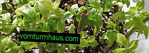 Razmnoževanje borovnic s potaknjenci: kdaj rezati, metode