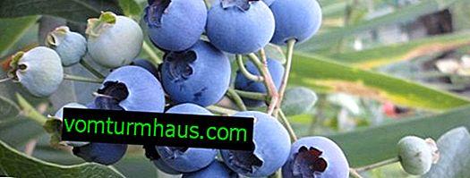 Odmiany jagód Rzeka: opis i cechy uprawy
