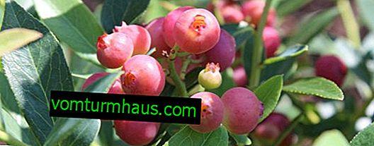 Blueberry Pink Blueberry: Variety Description