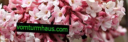 Bodelantenskaya di rose di Guelder Charles Lamon: agrotecnica della coltivazione