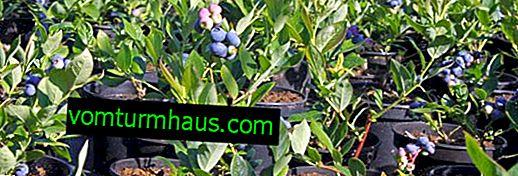 Hvor man skal plante blåbær, efterspørgsel, kvarter med andre kulturer