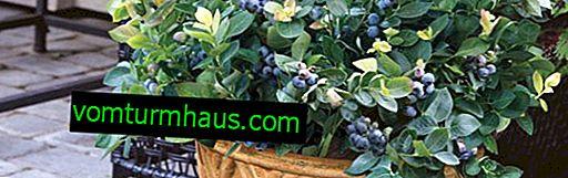 Växande blåbär hemma