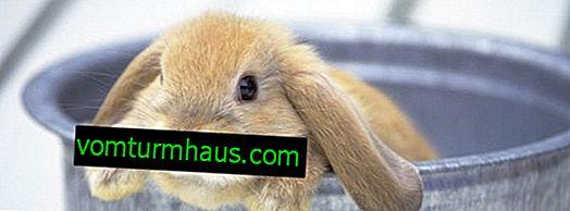 Coniglio olandese
