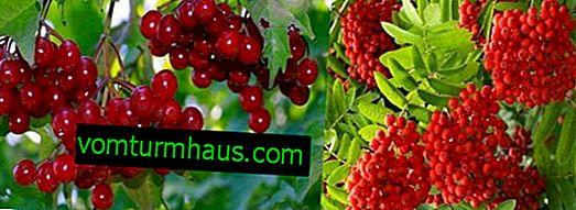 ¿Cuál es la diferencia entre viburnum y cenizas de montaña: descripción de plantas, beneficios y daños, uso