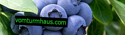 Darrow blueberries: characteristics of the variety and the subtleties of cultivation