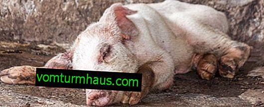 Pasteurelosis en cerdos: síntomas y tratamiento, prevención