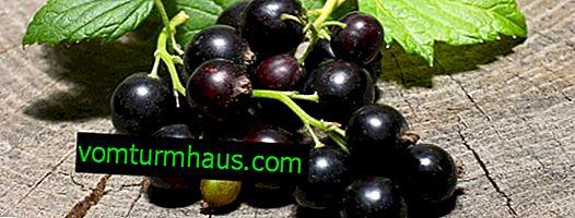 Hur man odlar svarta vinbär från sticklingar