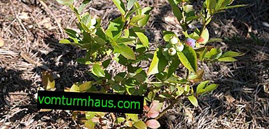 Plantning og pleje af blåbær i forstæderne