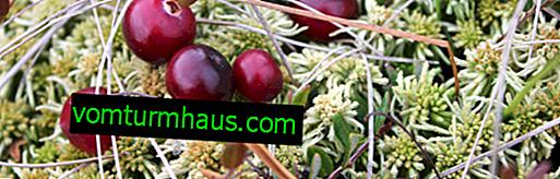 Marsh kızılcık: bitki özellikleri, ne zaman hasat