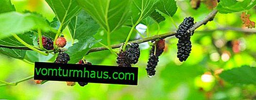 Ist es möglich, Maulbeere mit Typ-2-Diabetes zu essen?
