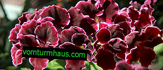 Care and propagation of royal geraniums at home