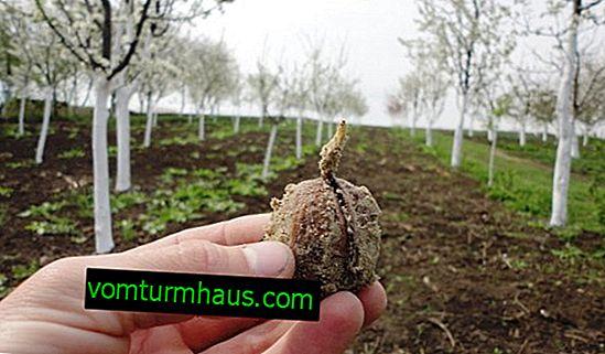 Pěstování vlašských ořechů ve středním Rusku