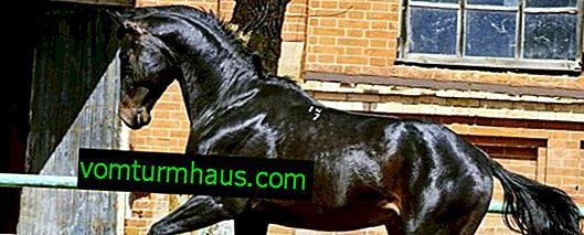 Razza di cavalli russa: descrizione, caratteristiche e cura